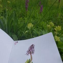croquis aquarelle, carnet de voyage, les monts d'Or, orchidées endémiques et flore des prés