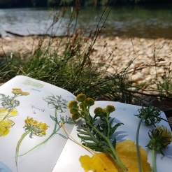 croquis aquarelle, carnet de voyage, flore des bords de Saône